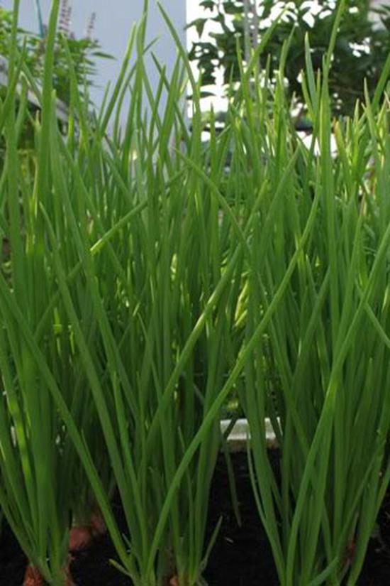 cb 2 gói hạt giống Hành hoa 10gr mã 08409222