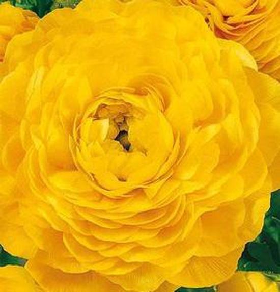 hạt giống Hồng ri ba tư vàng f1