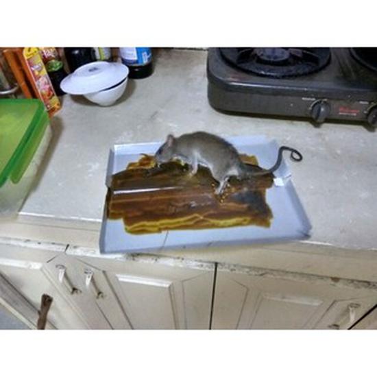 Bây dính chuột, keo dính chuột Minh Phương