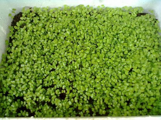 cb 2  Rau mầm cải xanh 08409204