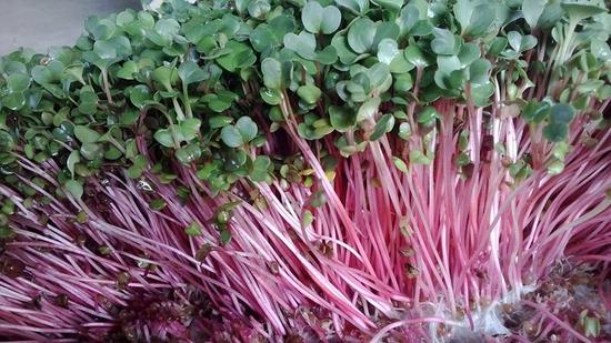 cb 3 Rau mầm củ cải đỏ mã 08409201