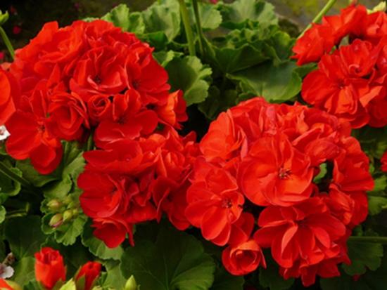 hạt giống Thiên trúc quỳ đỏ